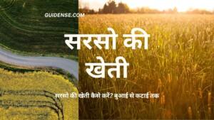 सरसो की खेती कैसे करें? बुआई से कटाई तक – Mustard Cultivation