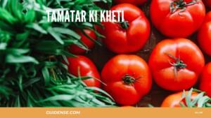 Tamatar ki kheti – टमाटर की खेती कैसे करें?