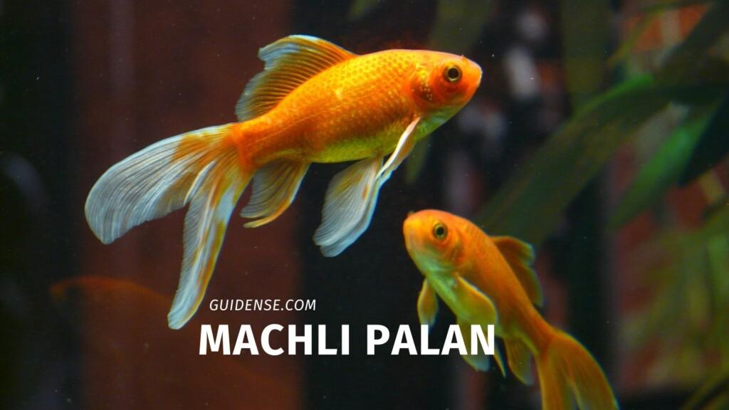 Machli palan
